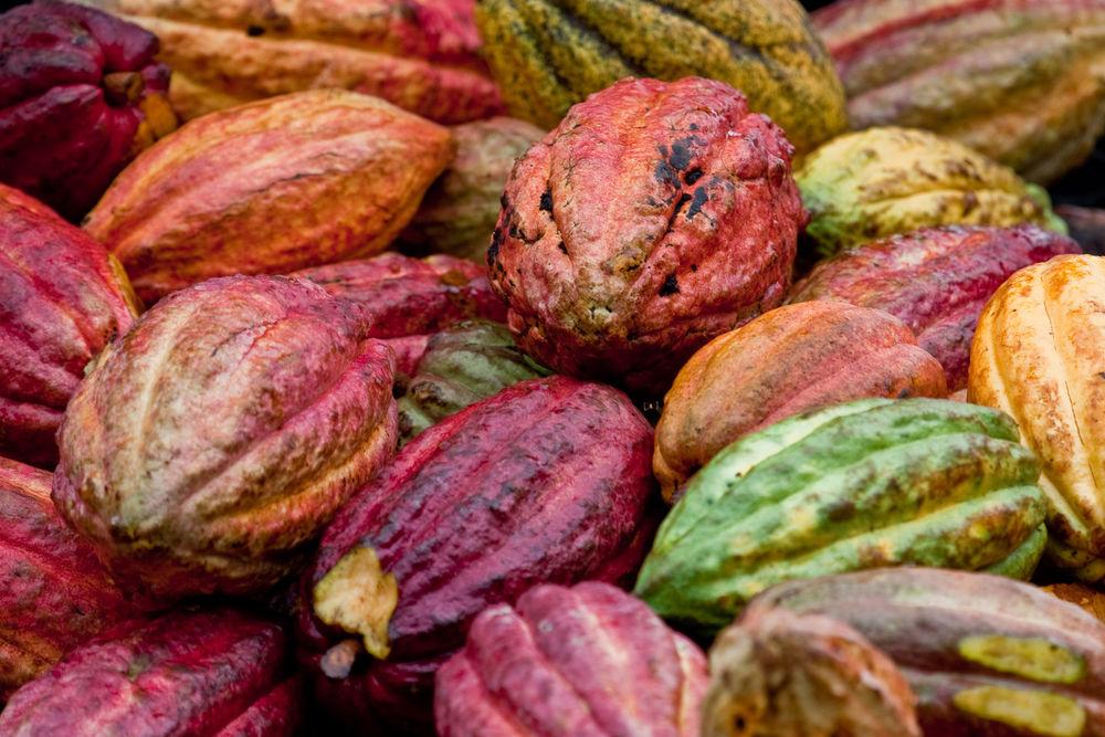 Quả cacao trong tự nhiên đa sắc. Chúng cần được lên men để tạo nên hương vị sôcôla quen thuộc. Ảnh: Cocoa Prom